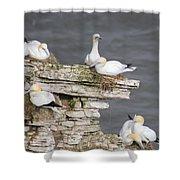 Precarious Nesting Bempton Gannets Shower Curtain
