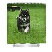 Precious Alusky Puppy Dog Running In A Yard Shower Curtain
