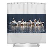 Preening Pelicans Shower Curtain