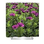 Prescott Park - Portsmouth New Hampshire Osteospermum Flowers Shower Curtain