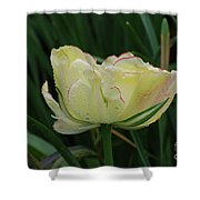 Pretty Cream Colored Tulip Edged In Red With Dew Shower Curtain