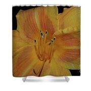 Pretty Orange Daylily Flowering With Pollen On It's Stamen Shower Curtain