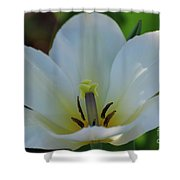 Pretty Perfect White Tulip Flower Blossom In The Spring Shower Curtain
