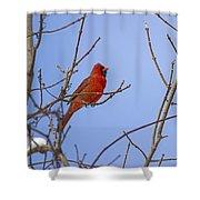 Primary Colours - Northern Cardinal - Cardinalis Cardinalis Shower Curtain