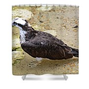 Profile Of An Osprey Bird In The Shallows Shower Curtain