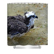 Profile Of An Osprey In Shallow Water Shower Curtain