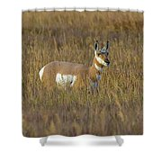 Pronghorn At Golden Hour Shower Curtain