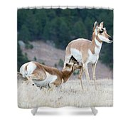 Pronghorn Feeding Shower Curtain