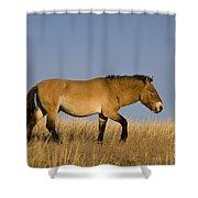 Przewalskis Stallion Shower Curtain