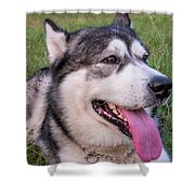 Purebred Alaskan Malamute Tongue Shower Curtain