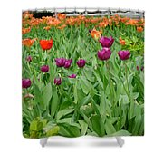 Purple And Red Tullips Shower Curtain