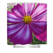 Purple And White Cosmos Shower Curtain
