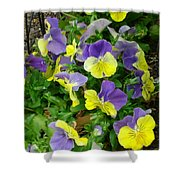 Purple And Yellow Pansies Shower Curtain