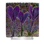 Purple Crocuses  Shower Curtain