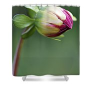 Purple Dahlia Flower Bud Shower Curtain