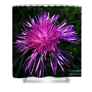 Purple Dandelions 4 Shower Curtain