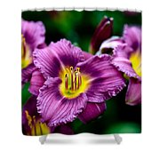 Purple Day Lillies Shower Curtain