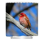 Purple Finch In Spring Shower Curtain