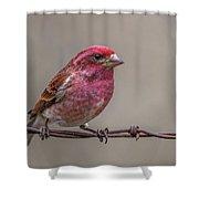 Purple Finch On Barbwire Shower Curtain
