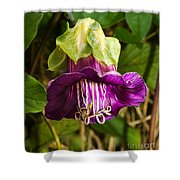 Purple Flower Of The Vine Known As Cathedral Bells Shower Curtain