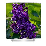 Purple French Lilac Shower Curtain