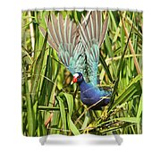 Purple Gallinule In Flight Shower Curtain