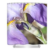 Purple Iris With Focus On Bud Shower Curtain