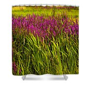 Purple Loosetrife And Cat-tails Shower Curtain