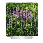 Purple Lupines In Summer Shower Curtain