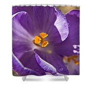 Purple Spring Crocus Shower Curtain