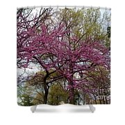 Purple Spring Trees Shower Curtain by Rachel Maynard