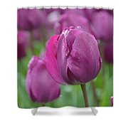 Purple Tulip With Water Drops Shower Curtain