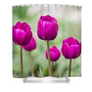 Purple Tulips 1 Shower Curtain