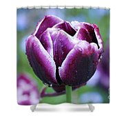 Purple Tulips With Dew Drops On The Outside Of The Petals Shower Curtain
