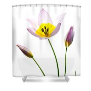 Purple Yellow Tulip 1 Shower Curtain