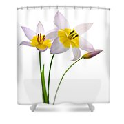 Purple Yellow Tulips 1 Shower Curtain