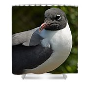 Quiet Laughing Gull Shower Curtain