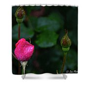 Rain Covered Pink Rose And Buds Shower Curtain