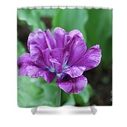Raindrops Clinging To The Purple Petals Of A Tulip Shower Curtain
