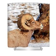 Ram Drool Shower Curtain