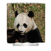 Really Great Panda Bear Chomping On A Fistful Of Bamboo Shower Curtain