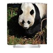 Really Sweet Giant Panda Bear Waddling Around Shower Curtain
