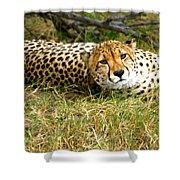 Reclining Cheetah Shower Curtain