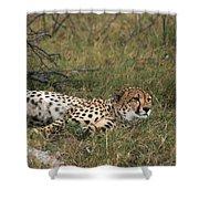 Reclining Cheetah Watching Shower Curtain
