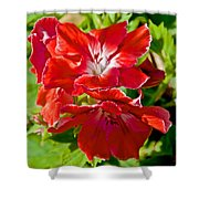 Red Amaryllis At Pilgrim Place In Claremont-california Shower Curtain