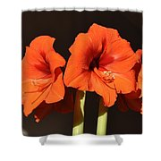 Red Amaryllis Shower Curtain