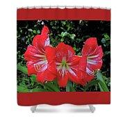 Red Amaryllis Trio Shower Curtain