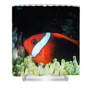Red And Black Anemonefish, Great Barrier Reef Shower Curtain