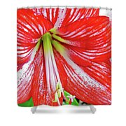 Red And White Beauty Shower Curtain