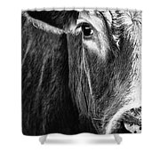 Red Angus In Black And White  Shower Curtain